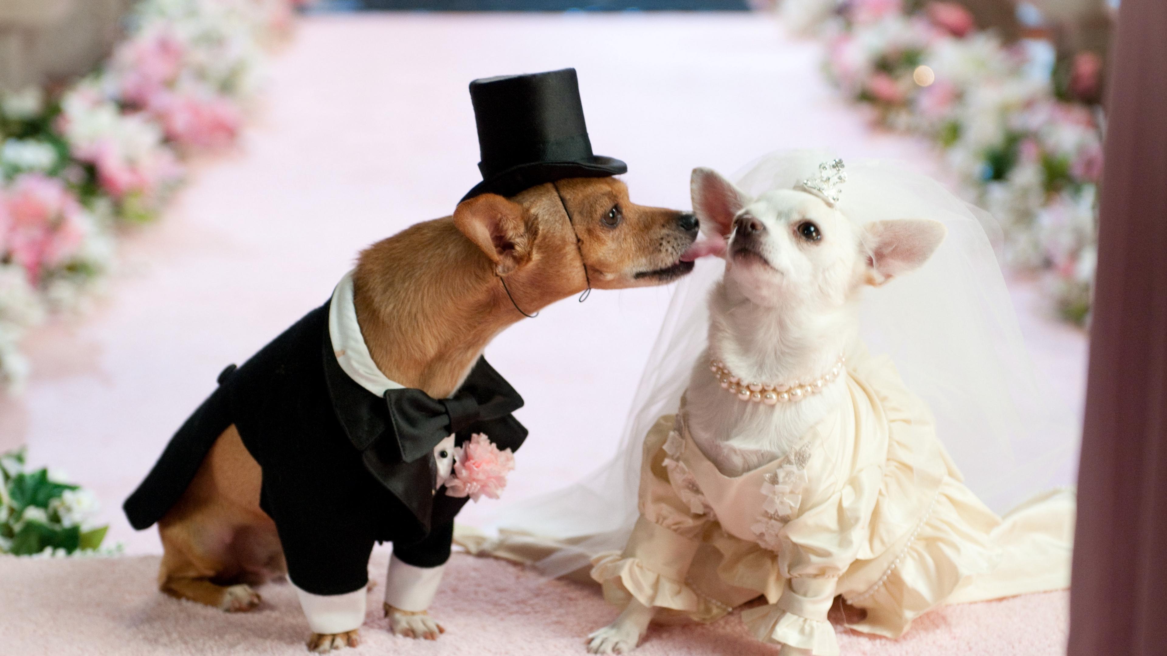 dog couple wedding dress 4k 1542242573 - dog, couple, wedding, dress 4k - Wedding, Dog, Couple