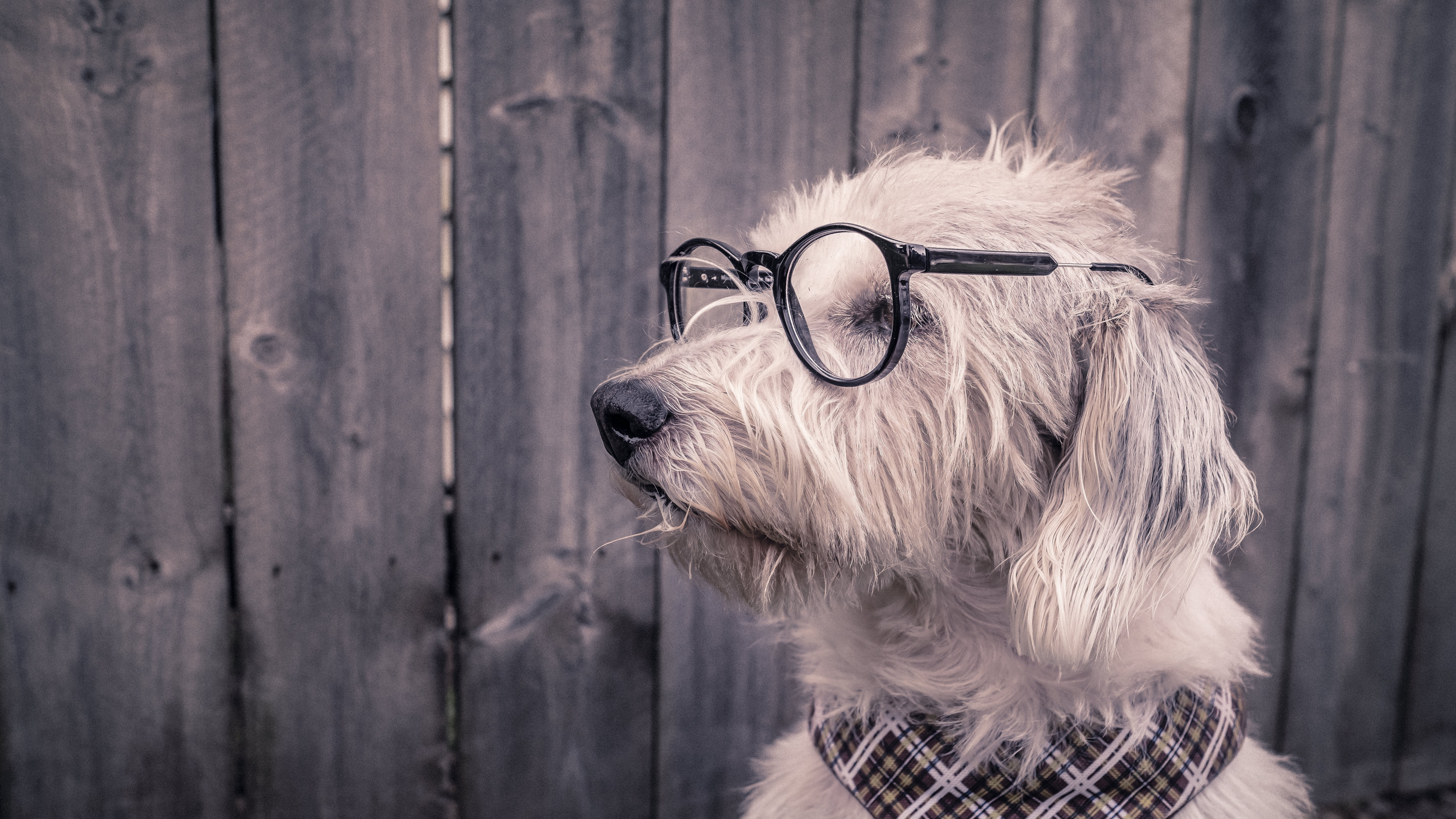 dog glasses scarf 4k 1542242481 - dog, glasses, scarf 4k - scarf, glasses, Dog