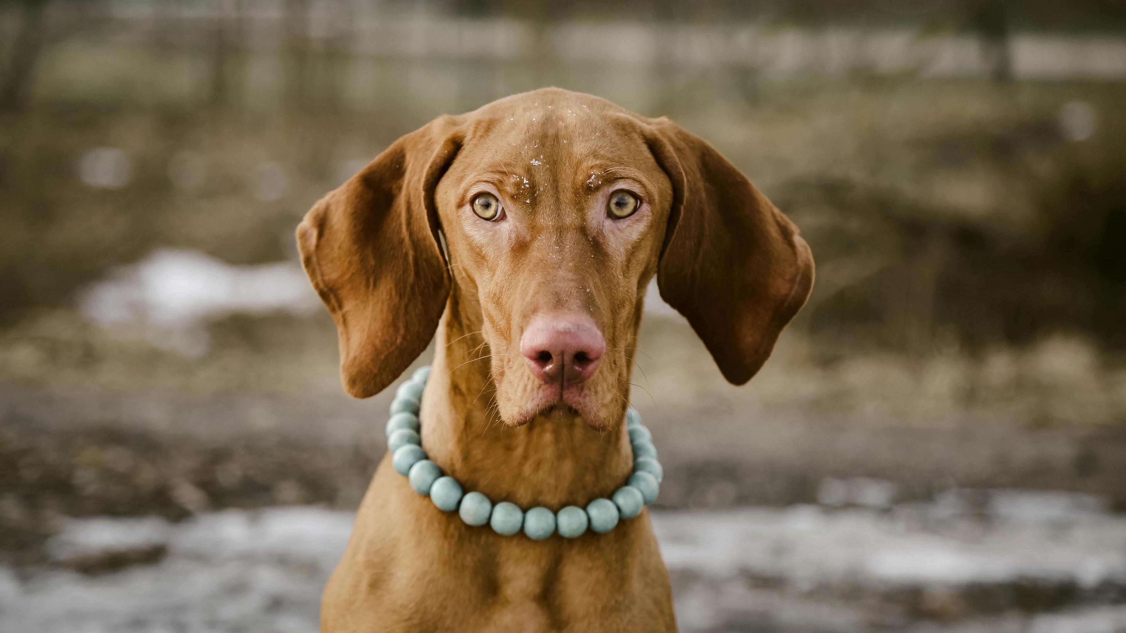dog muzzle collar necklace 4k 1542243027 - dog, muzzle, collar, necklace 4k - muzzle, Dog, collar