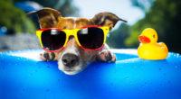 dog wearing sunglasses 4k 1542238182 200x110 - Dog Wearing Sunglasses 4k - sunglasses wallpapers, glasses wallpapers, funny wallpapers, dog wallpapers, animals wallpapers