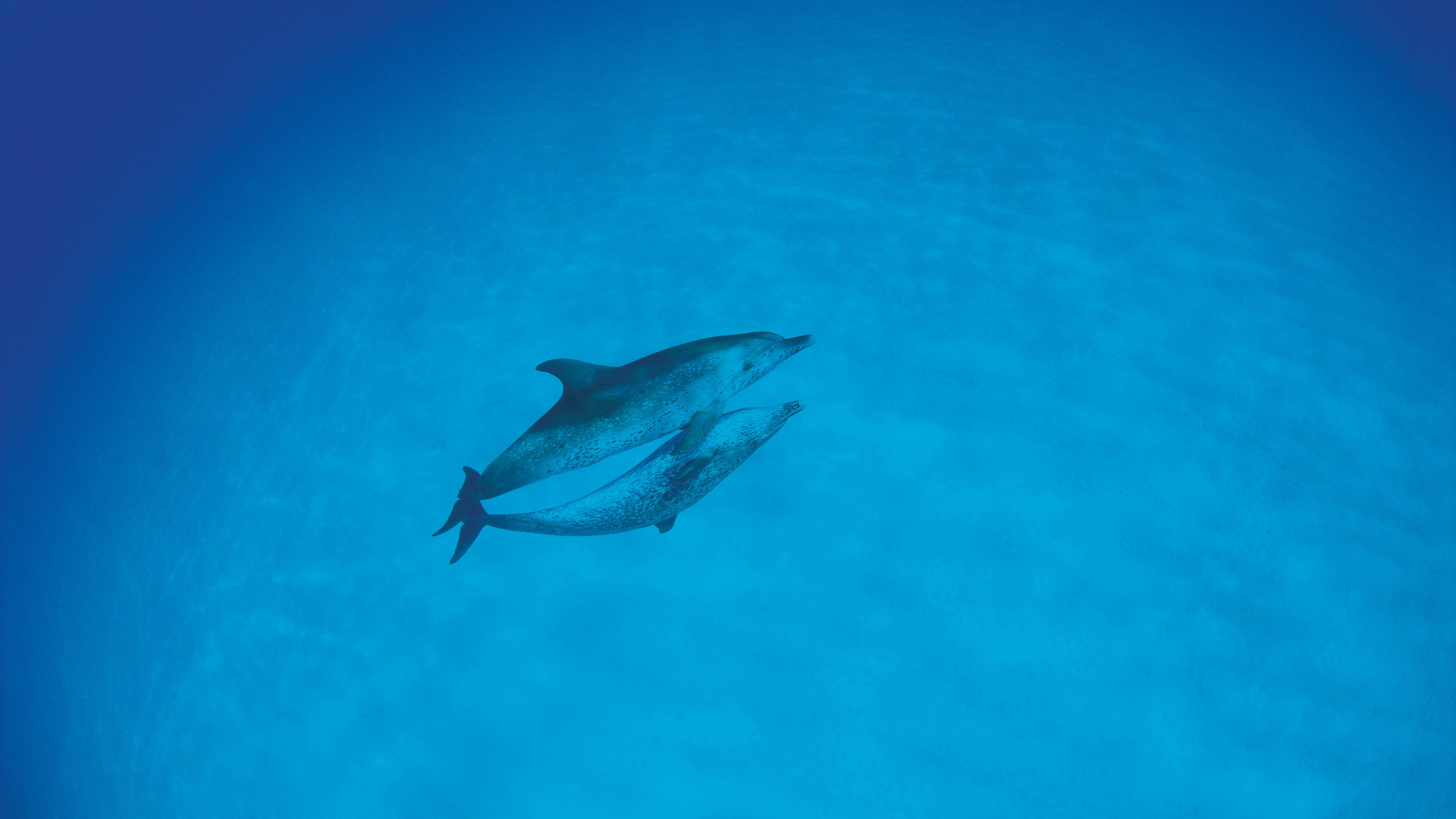 dolphins love ocean 4k 1542242113 - dolphins, love, ocean 4k - Ocean, Love, Dolphins