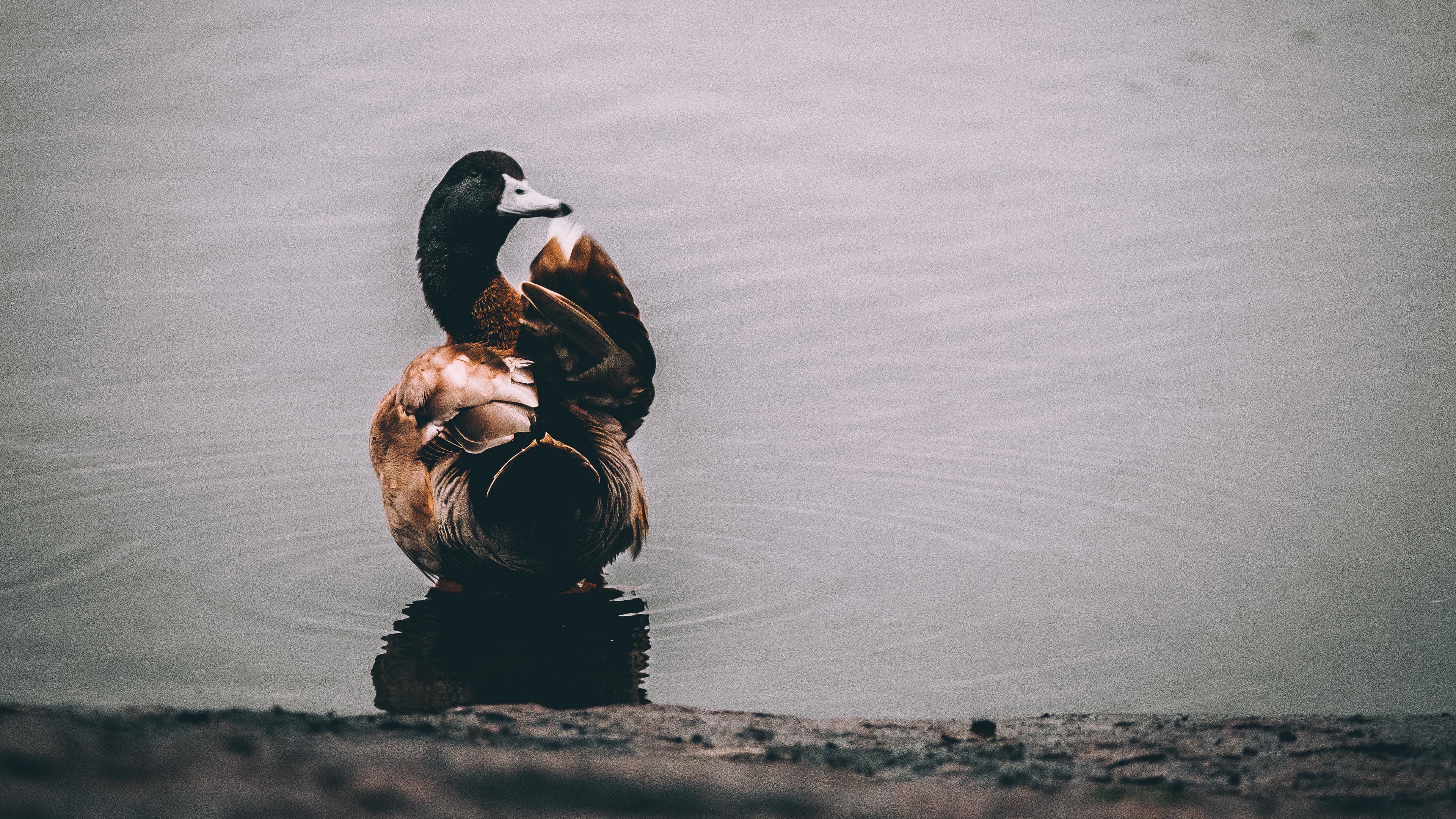 duck lake bird 4k 1542243029 - duck, lake, bird 4k - Lake, duck, Bird