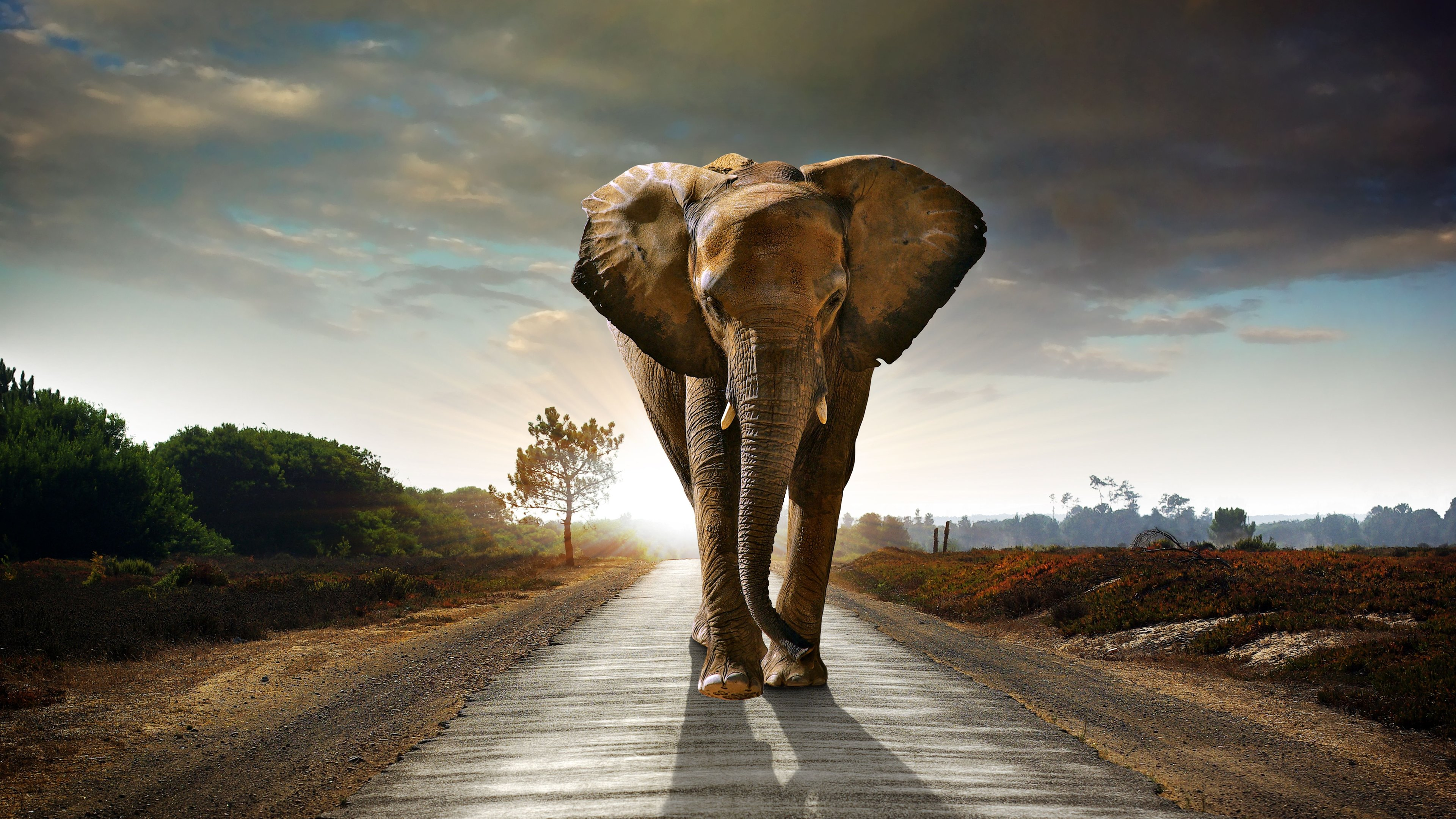 Wallpaper 4k Elephant Walking On The Road Hdr 4k 4k Wallpapers Animals Wallpapers Elephant Wallpapers Hd Wallpapers Road Wallpapers Walking Wallpapers