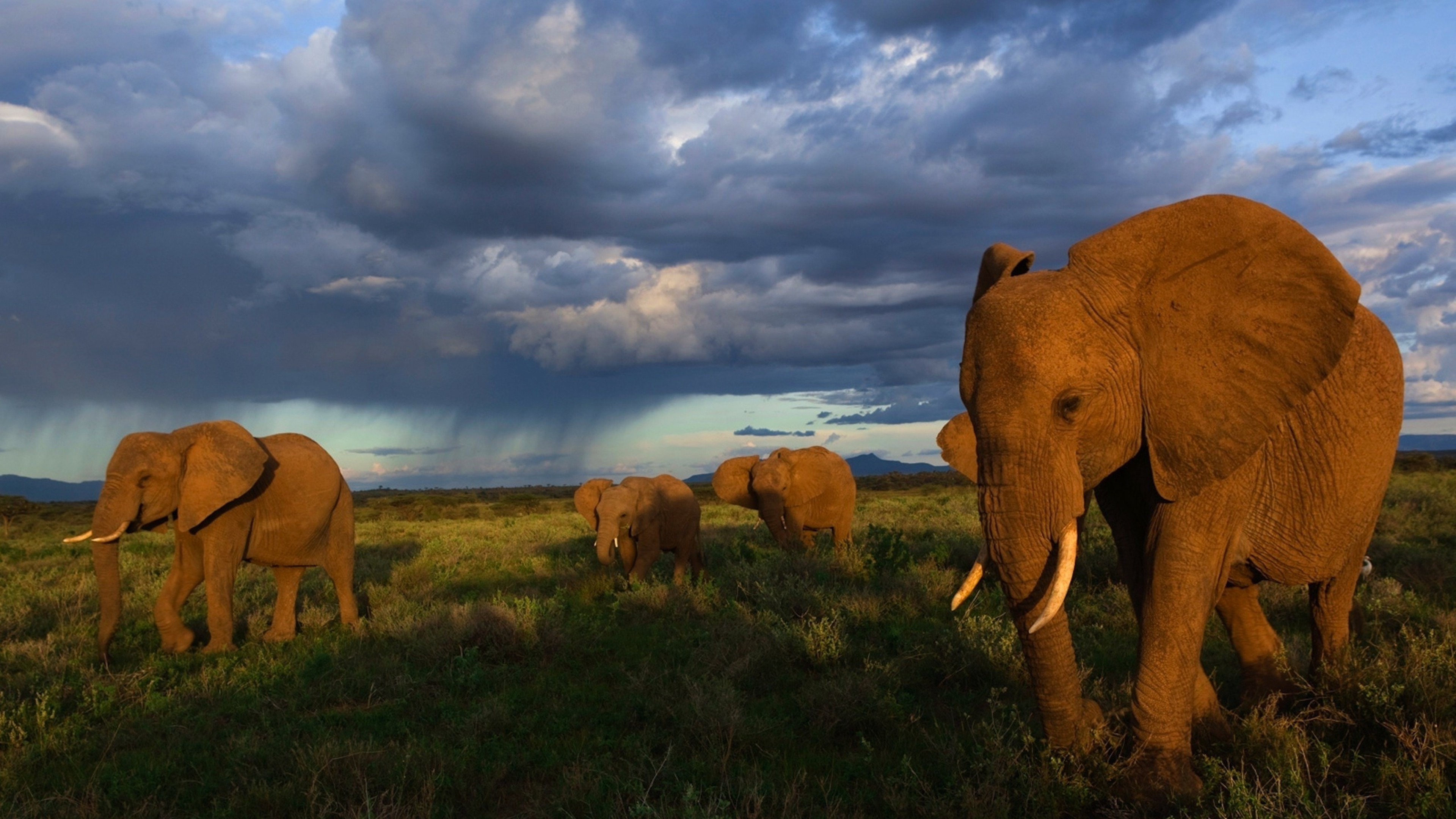 elephants walking 4k 1542237850 - Elephants Walking 4k - elephant wallpapers, animals wallpapers