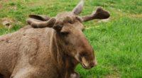 elk face lying grass 4k 1542242923 200x110 - elk, face, lying, grass 4k - Lying, Face, elk