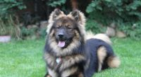 eurasier eurasian dog dog lies 4k 1542241488 200x110 - eurasier, eurasian dog, dog, lies 4k - eurasier, eurasian dog, Dog