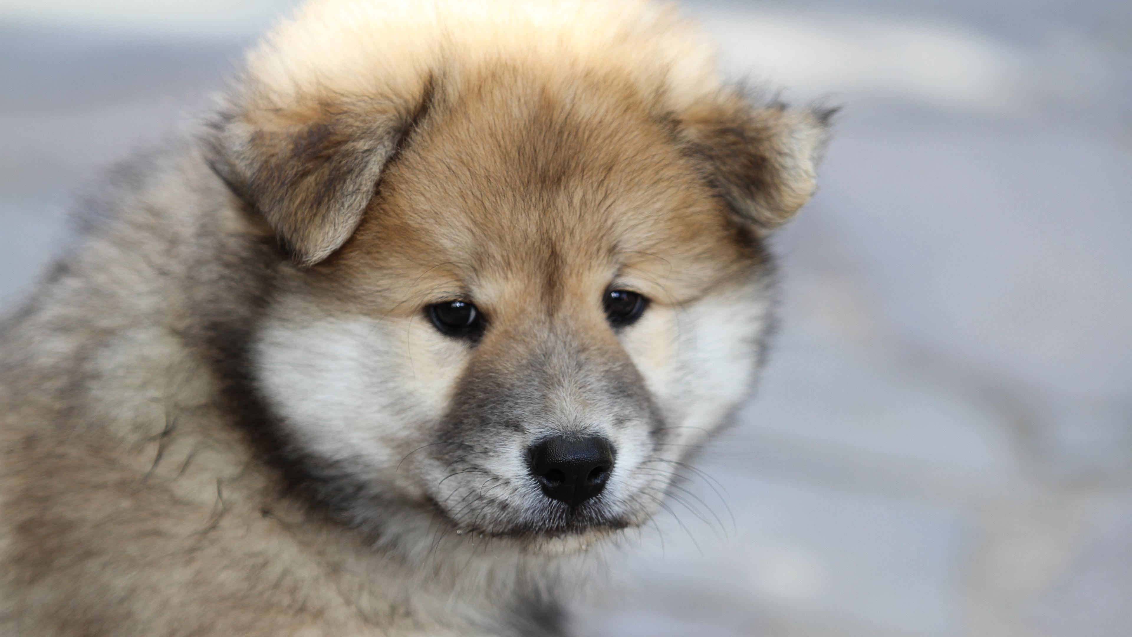 eurasier puppy dog 4k 1542242974 - eurasier, puppy, dog 4k - Puppy, eurasier, Dog