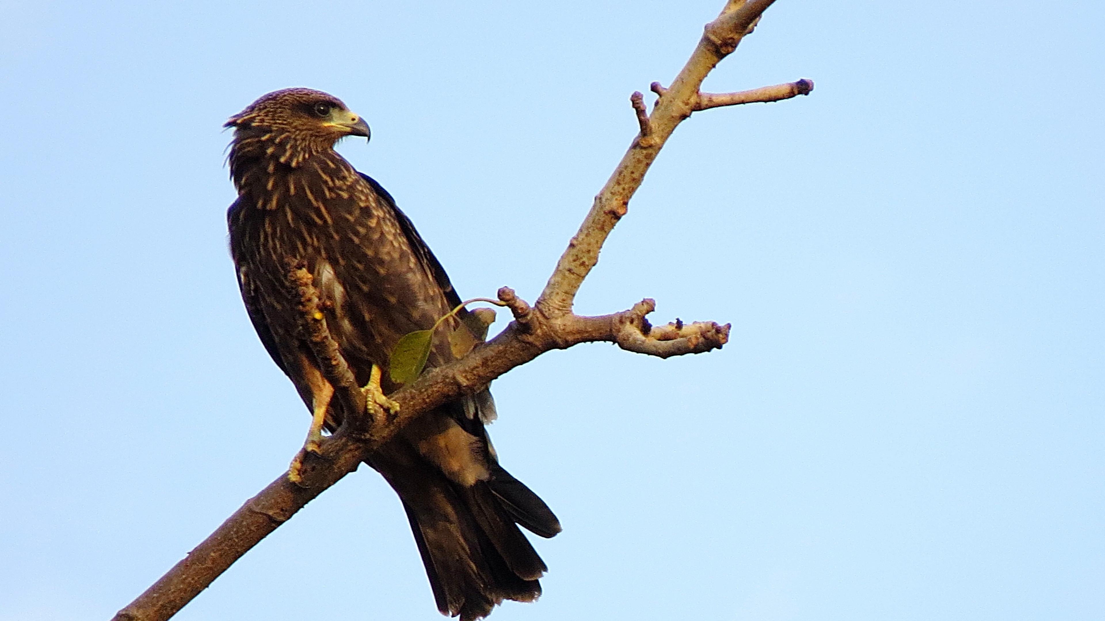 falcon eagle bird predator branch 4k 1542242728 - falcon, eagle, bird, predator, branch 4k - Falcon, Eagle, Bird