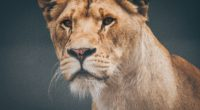 female lioness 4k 1542239384 200x110 - Female Lioness 4k - lioness wallpapers, lion wallpapers, hd-wallpapers, animals wallpapers, 4k-wallpapers