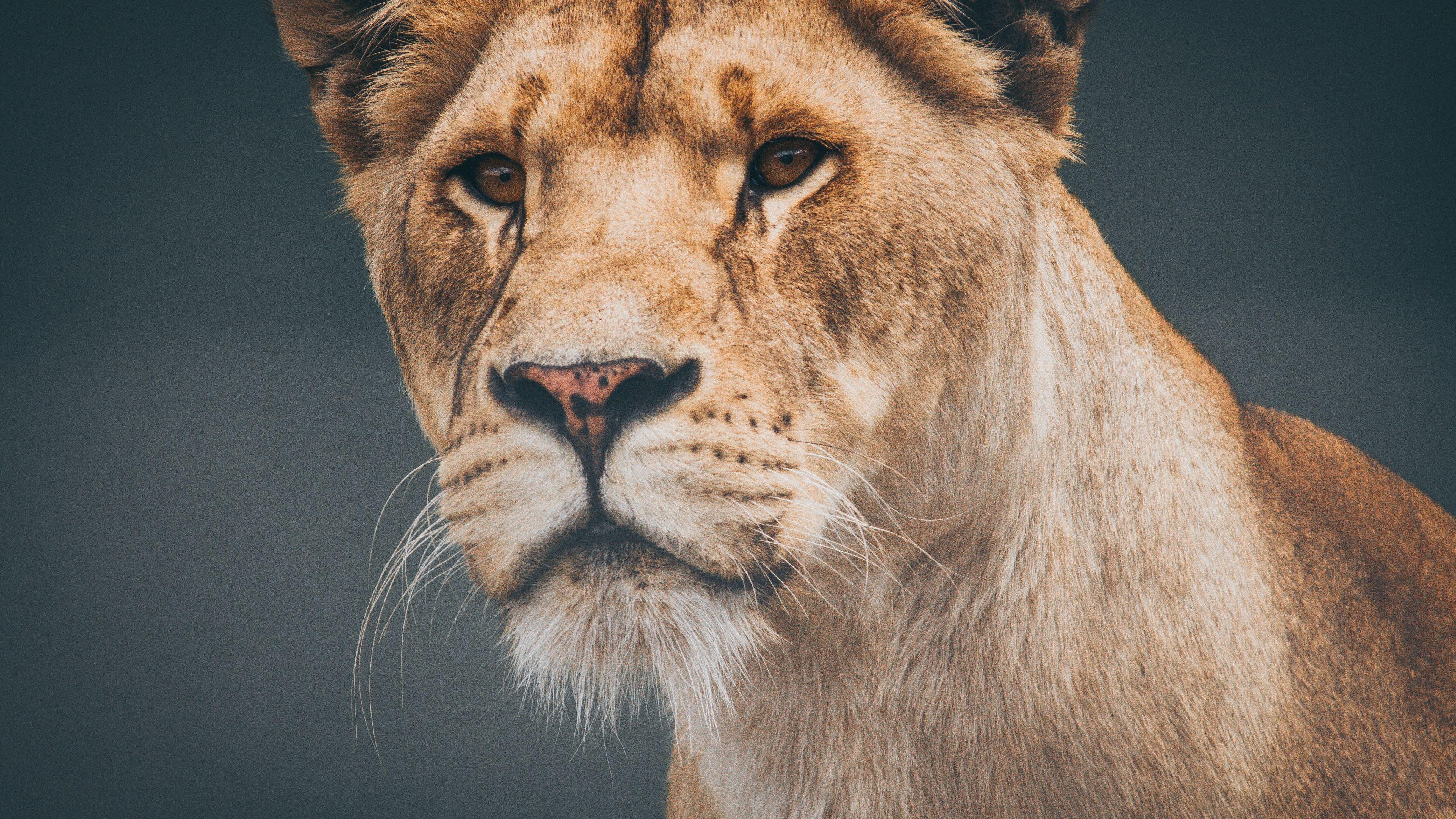 female lioness 4k 1542239384 - Female Lioness 4k - lioness wallpapers, lion wallpapers, hd-wallpapers, animals wallpapers, 4k-wallpapers