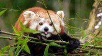 fiery panda red panda protruding tongue funny 4k 1542242089 200x110 - fiery panda, red panda, protruding tongue, funny 4k - red panda, protruding tongue, fiery panda