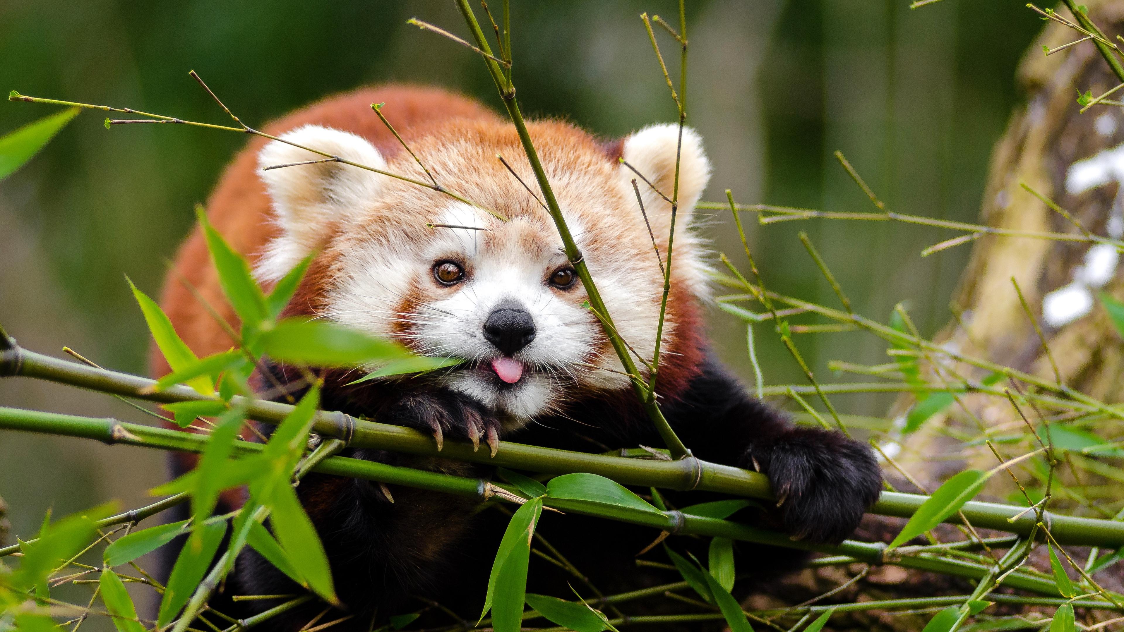 fiery panda red panda protruding tongue funny 4k 1542242089 - fiery panda, red panda, protruding tongue, funny 4k - red panda, protruding tongue, fiery panda