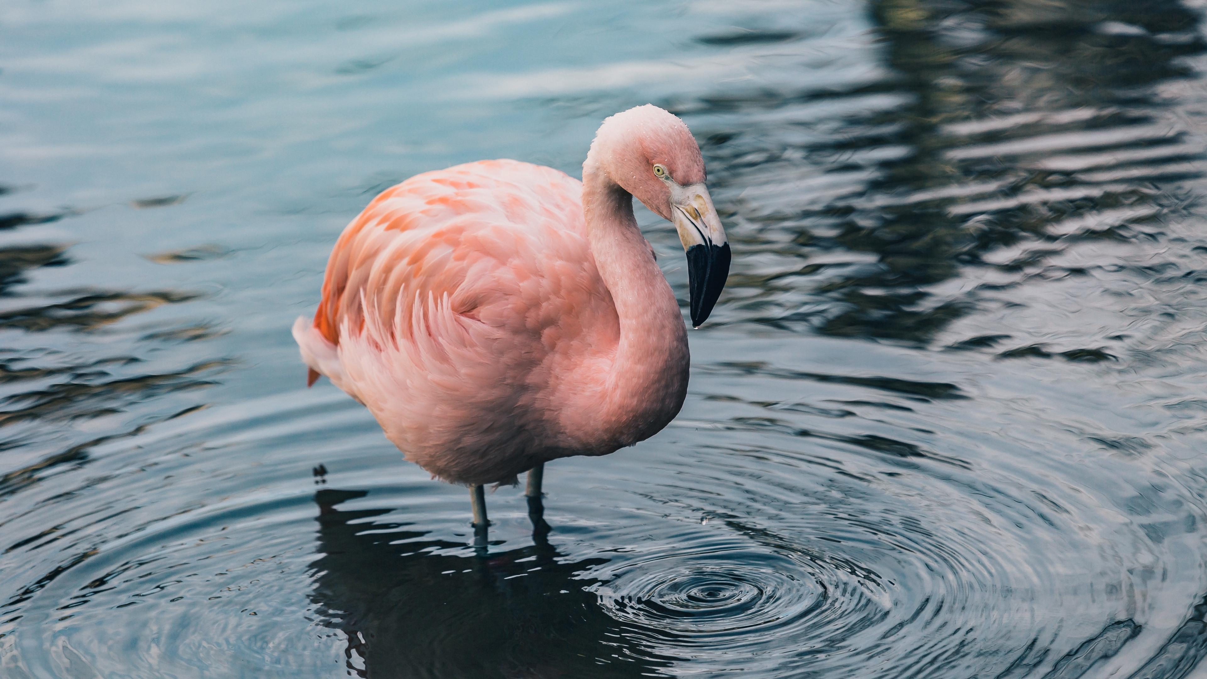 flamingo bird water 4k 1542241497 - flamingo, bird, water 4k - Water, flamingo, Bird