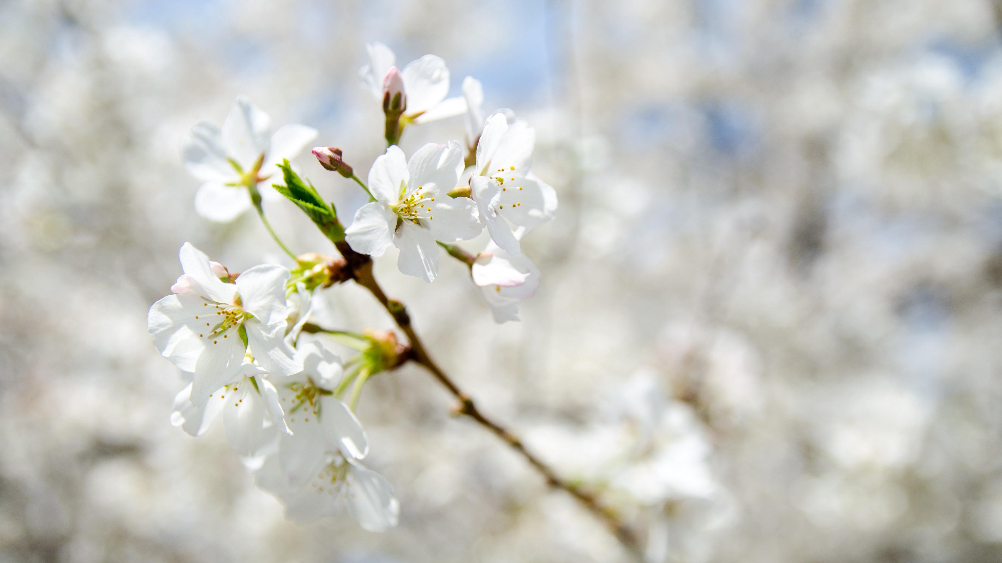flowers spring bloom branch 4k 1541114694 - flowers, spring, bloom, branch 4k - Spring, Flowers, Bloom
