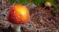 fly agaric mushroom autumn foliage 4k 1541116553 200x110 - fly agaric, mushroom, autumn, foliage 4k - Mushroom, fly agaric, Autumn