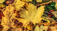 foliage maple autumn fallen 4k 1541117787 200x110 - foliage, maple, autumn, fallen 4k - Maple, foliage, Autumn