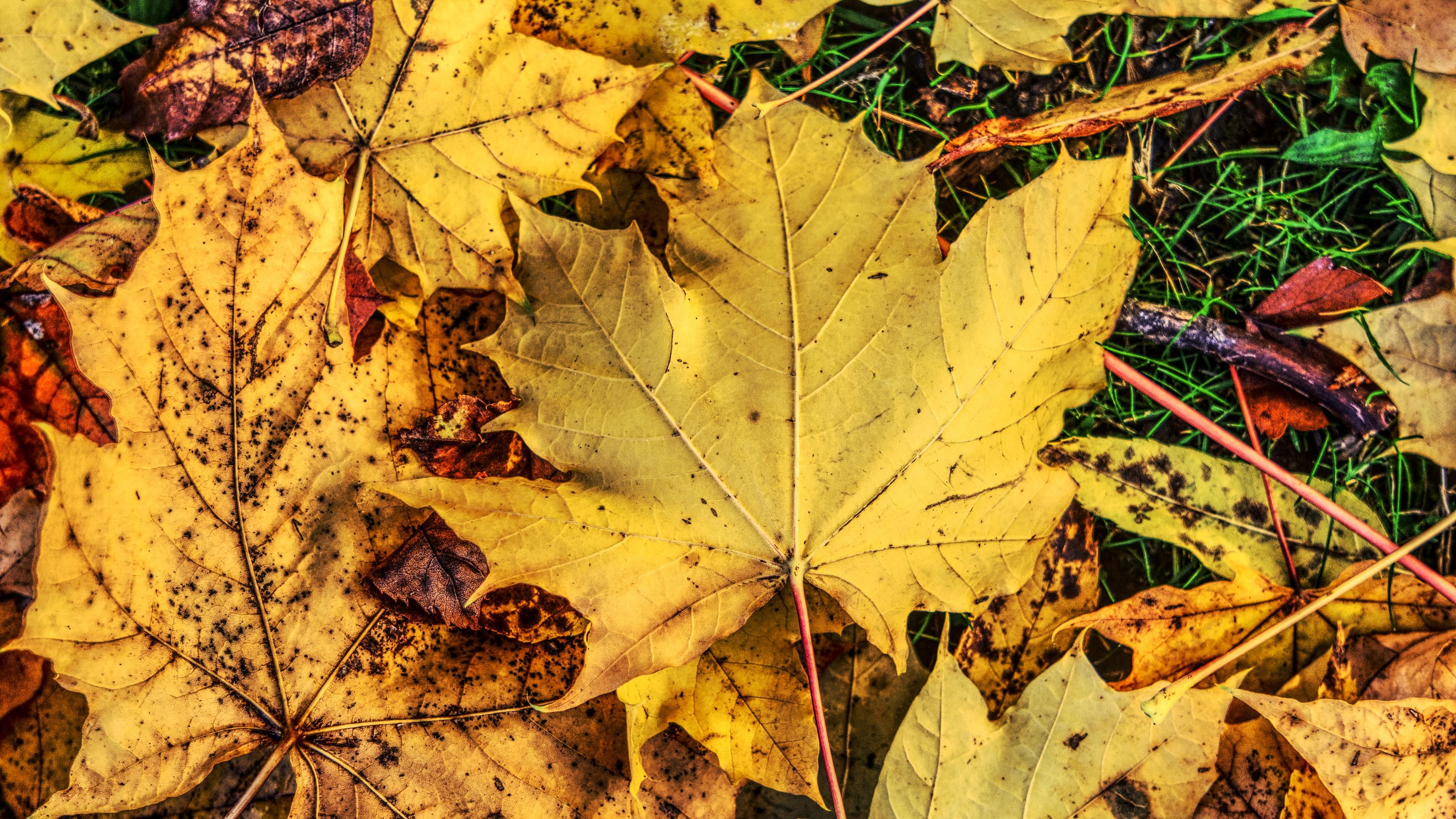 foliage maple autumn fallen 4k 1541117787 - foliage, maple, autumn, fallen 4k - Maple, foliage, Autumn