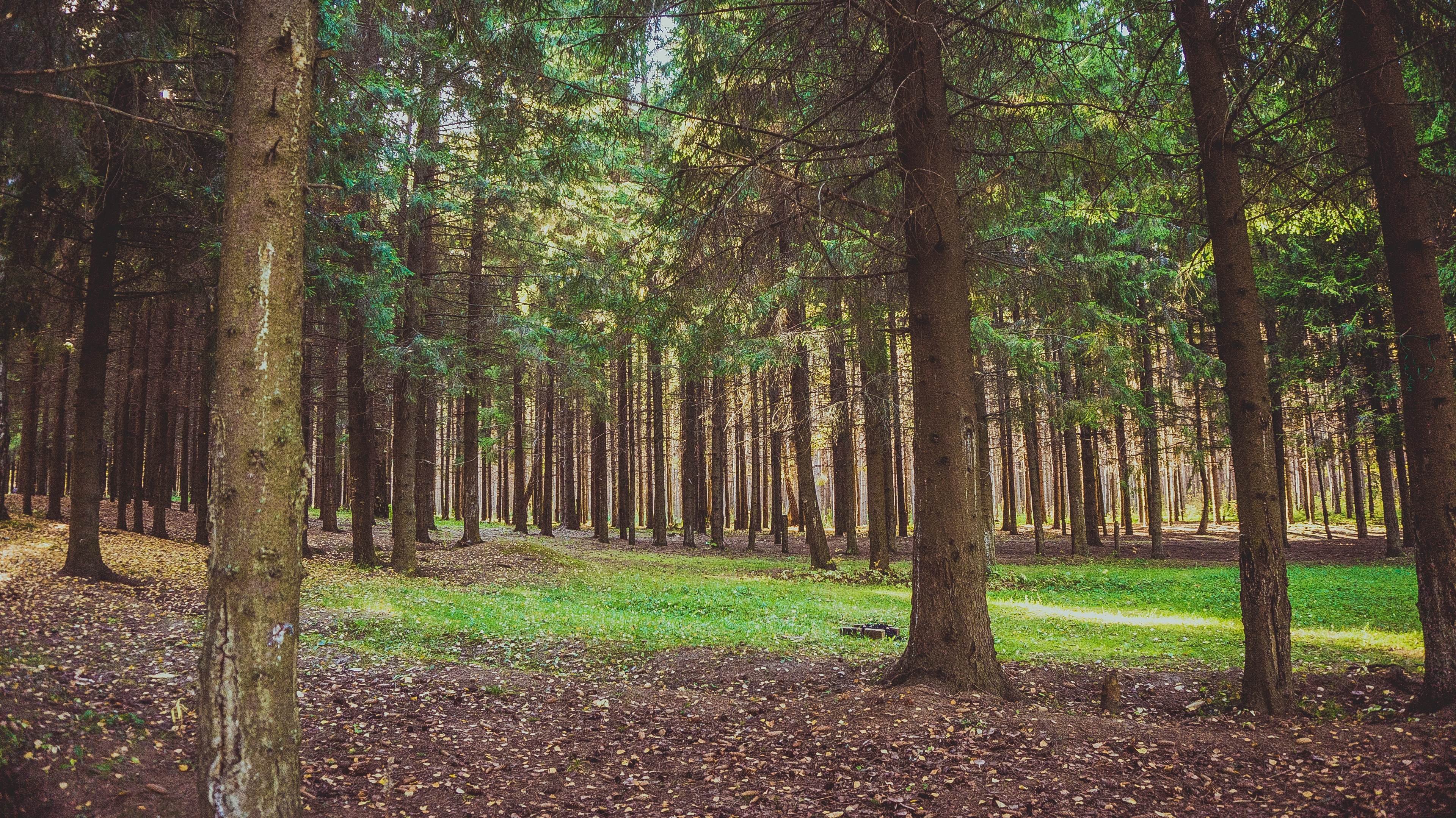 forest pine trees 4k 1541113982 - forest, pine, trees 4k - Trees, Pine, Forest