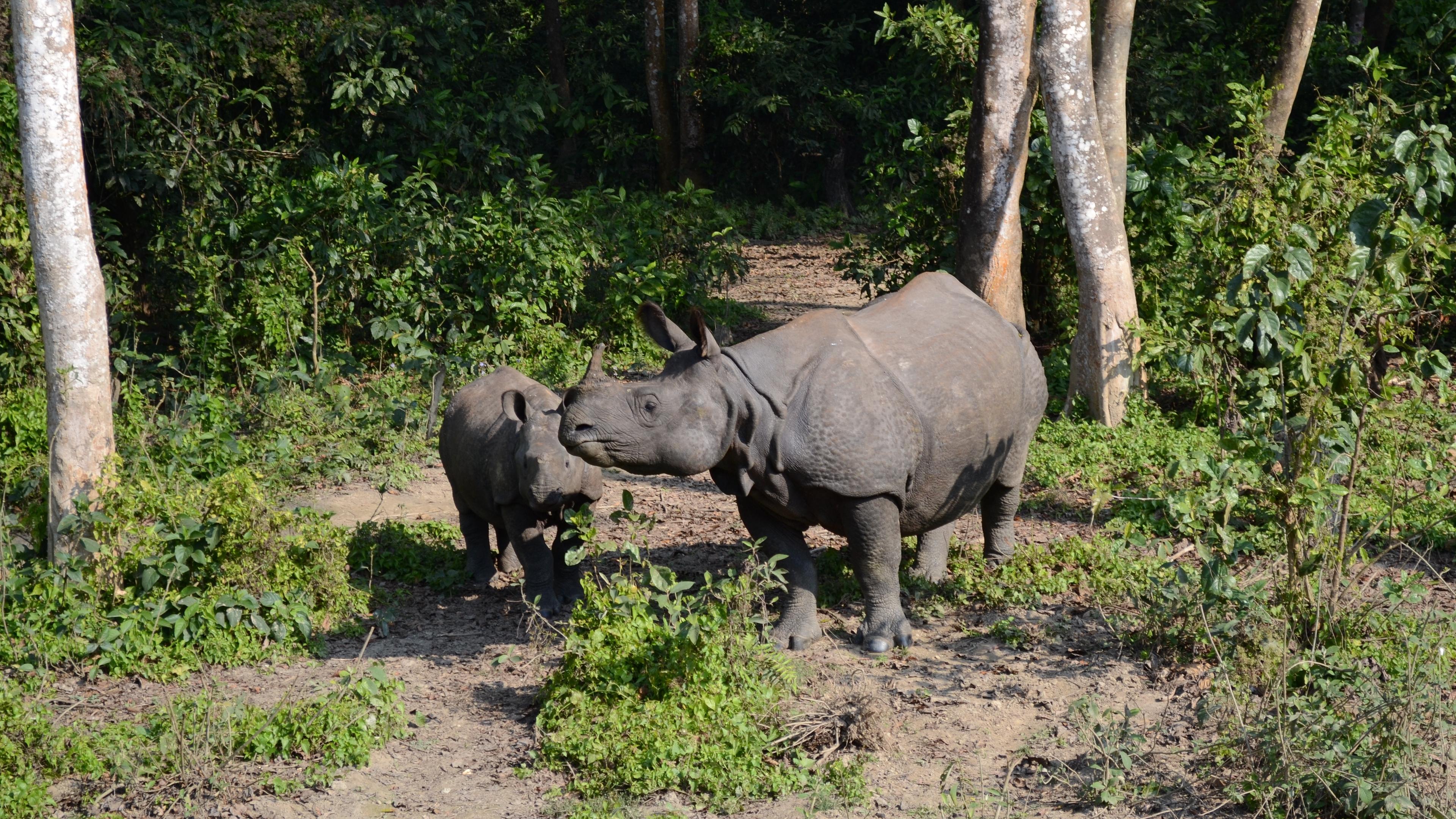 forest walk rhinos family 4k 1542242110 - forest, walk, rhinos, family 4k - walk, rhinos, Forest
