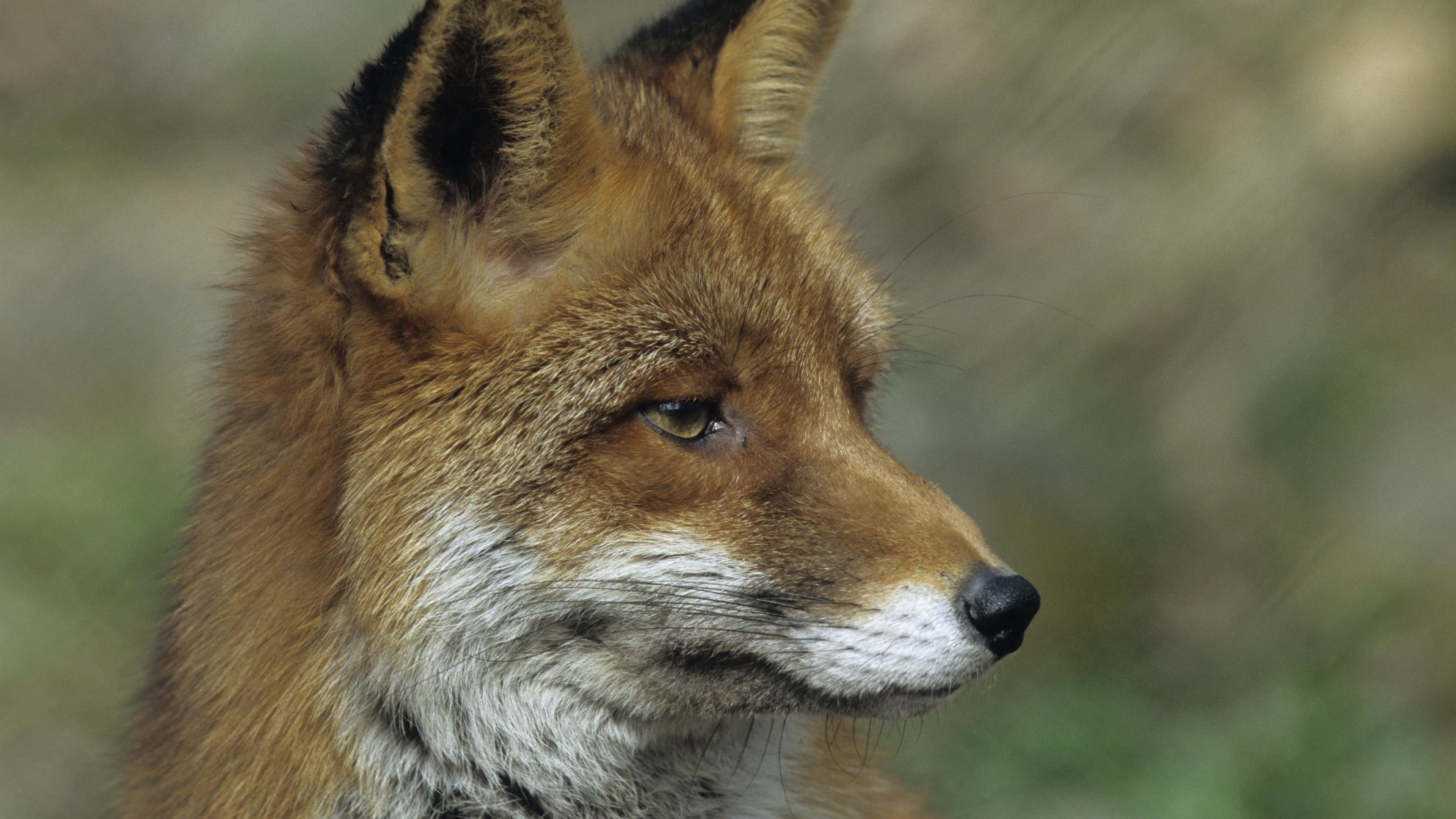 fox close up face 4k 1542242121 - fox, close up, face 4k - fox, Face, close-up