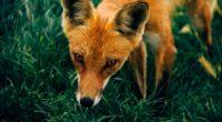 fox muzzle grass 4k 1542242780 200x110 - fox, muzzle, grass 4k - muzzle, Grass, fox