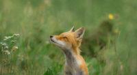 fox wild field 4k 1542238306 200x110 - Fox Wild Field 4k - wild wallpapers, hd-wallpapers, fox wallpapers, animals wallpapers, 5k wallpapers, 4k-wallpapers