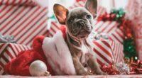 french bulldog christmas 1542238790 200x110 - French Bulldog Christmas - hd-wallpapers, french bull dog wallpapers, bull dog wallpapers, animals wallpapers, 4k-wallpapers