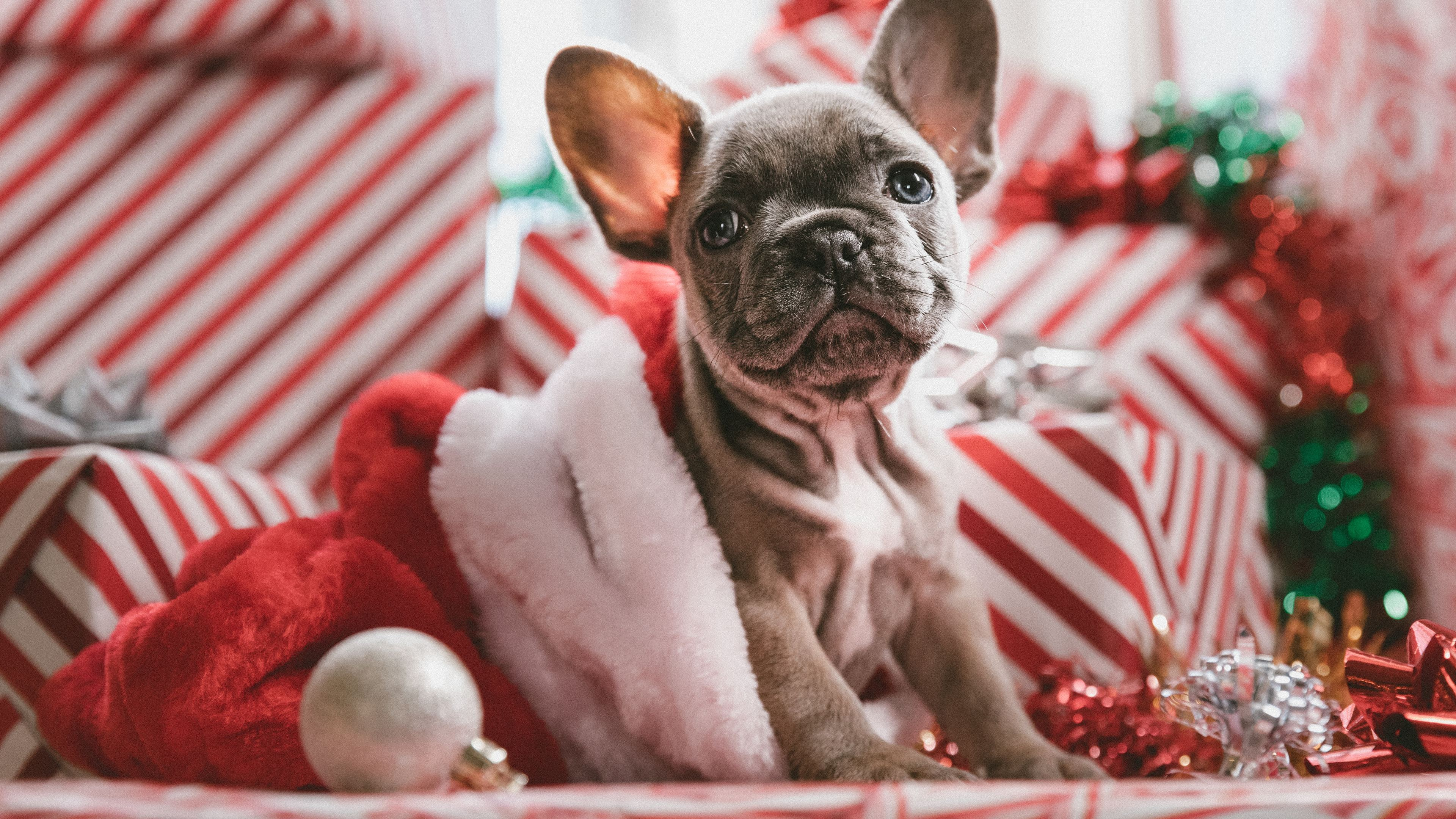 french bulldog christmas 1542238790 - French Bulldog Christmas - hd-wallpapers, french bull dog wallpapers, bull dog wallpapers, animals wallpapers, 4k-wallpapers