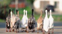 geese flock asphalt 4k 1542242112 200x110 - geese, flock, asphalt 4k - geese, flock, asphalt