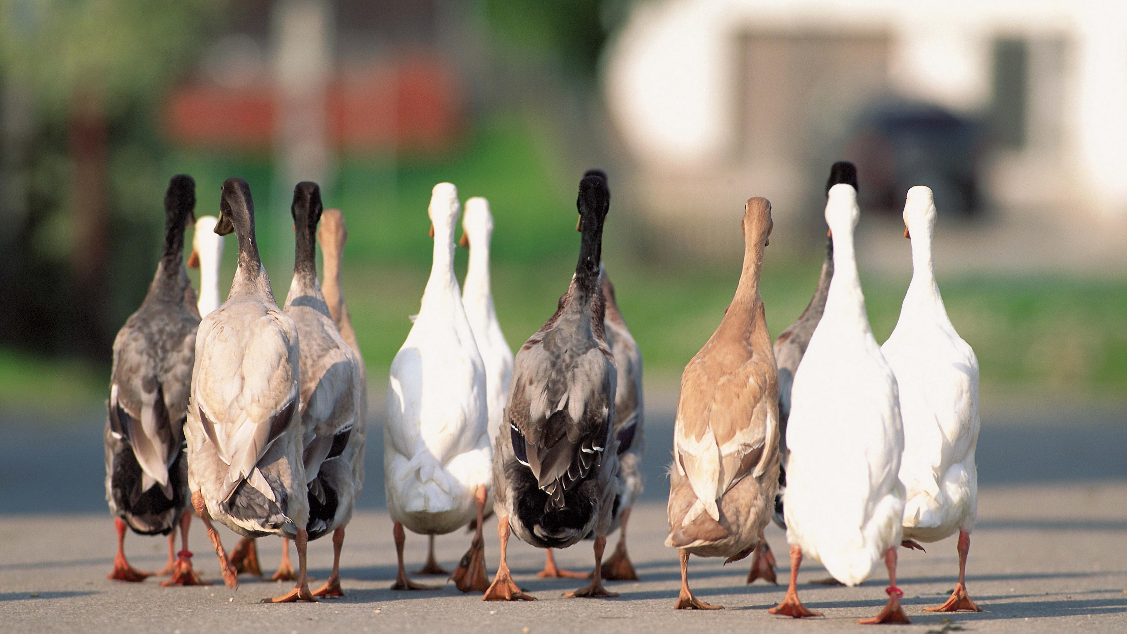 geese flock asphalt 4k 1542242112 - geese, flock, asphalt 4k - geese, flock, asphalt