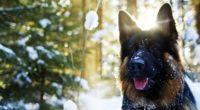 german shepherd in snow 4k 1542237854 200x110 - German Shepherd In Snow 4k - german shepherd wallpapers, dog wallpapers, cute wallpapers, animals wallpapers