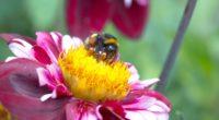 gerogina bee pollination 4k 1541117888 200x110 - gerogina, bee, pollination 4k - Pollination, gerogina, Bee