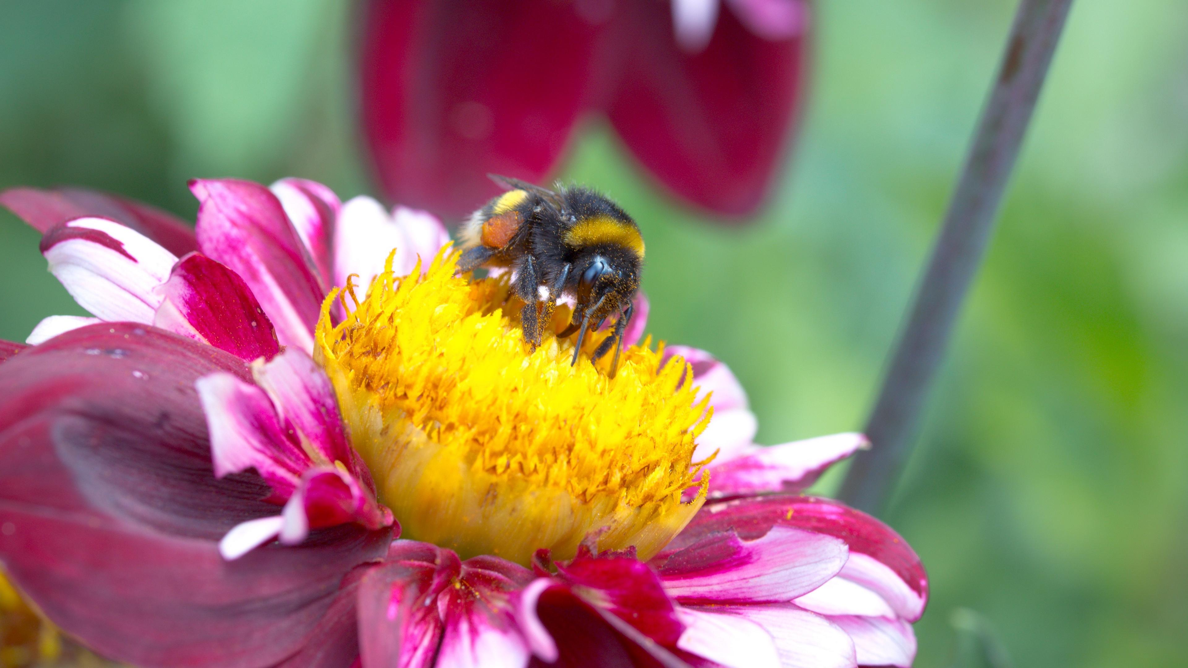 gerogina bee pollination 4k 1541117888 - gerogina, bee, pollination 4k - Pollination, gerogina, Bee