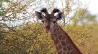 giraffe ears spotted 4k 1542242724 200x110 - giraffe, ears, spotted 4k - Spotted, Giraffe, ears