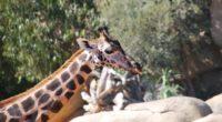 giraffe face spotted 4k 1542241830 200x110 - giraffe, face, spotted 4k - Spotted, Giraffe, Face