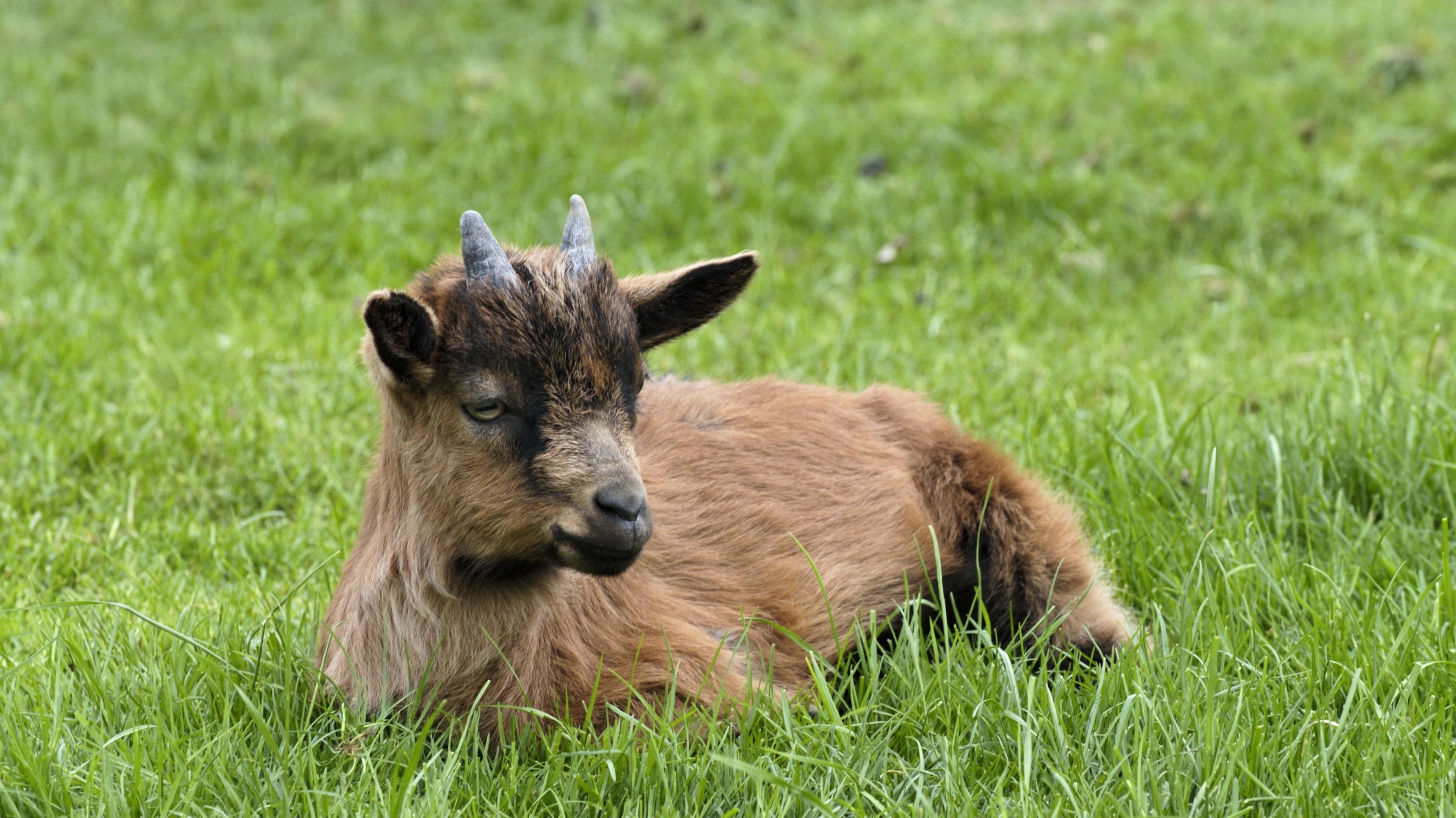 goat horns grass 4k 1542242116 - goat, horns, grass 4k - Horns, Grass, goat