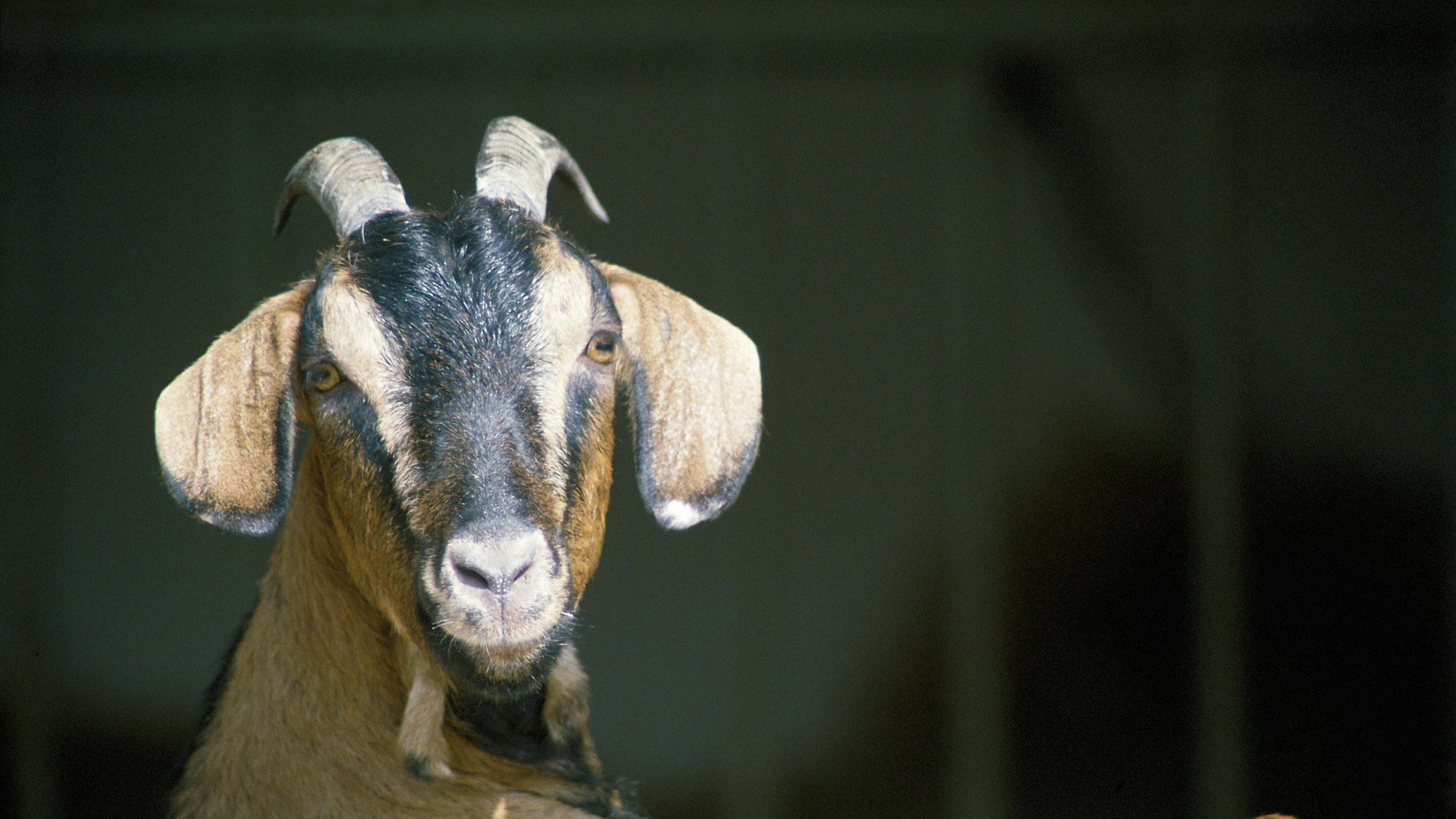 goat horns hooves 4k 1542241600 - goat, horns, hooves 4k - Horns, hooves, goat