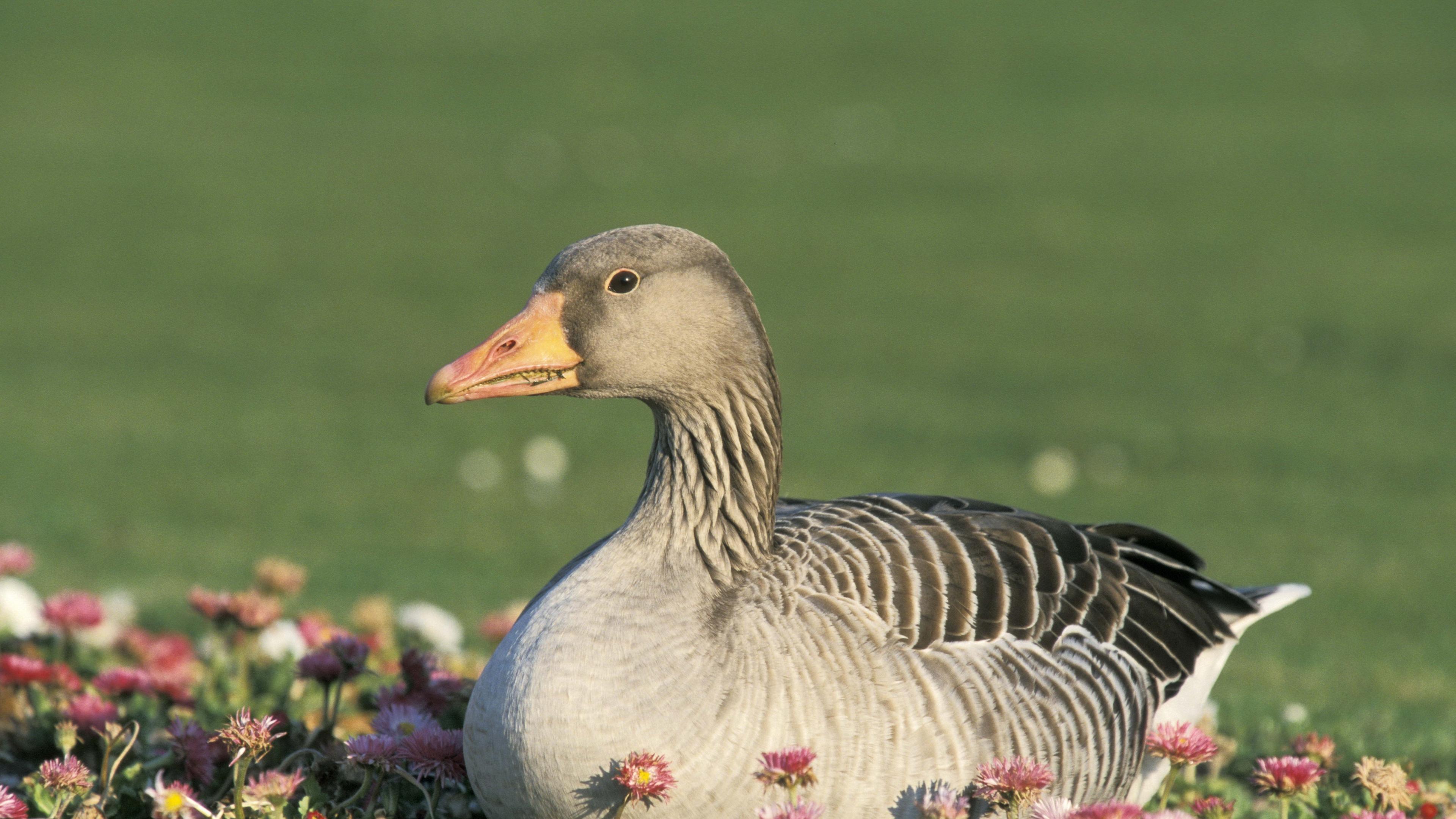 goose flowers bird 4k 1542242846 - goose, flowers, bird 4k - goose, Flowers, Bird