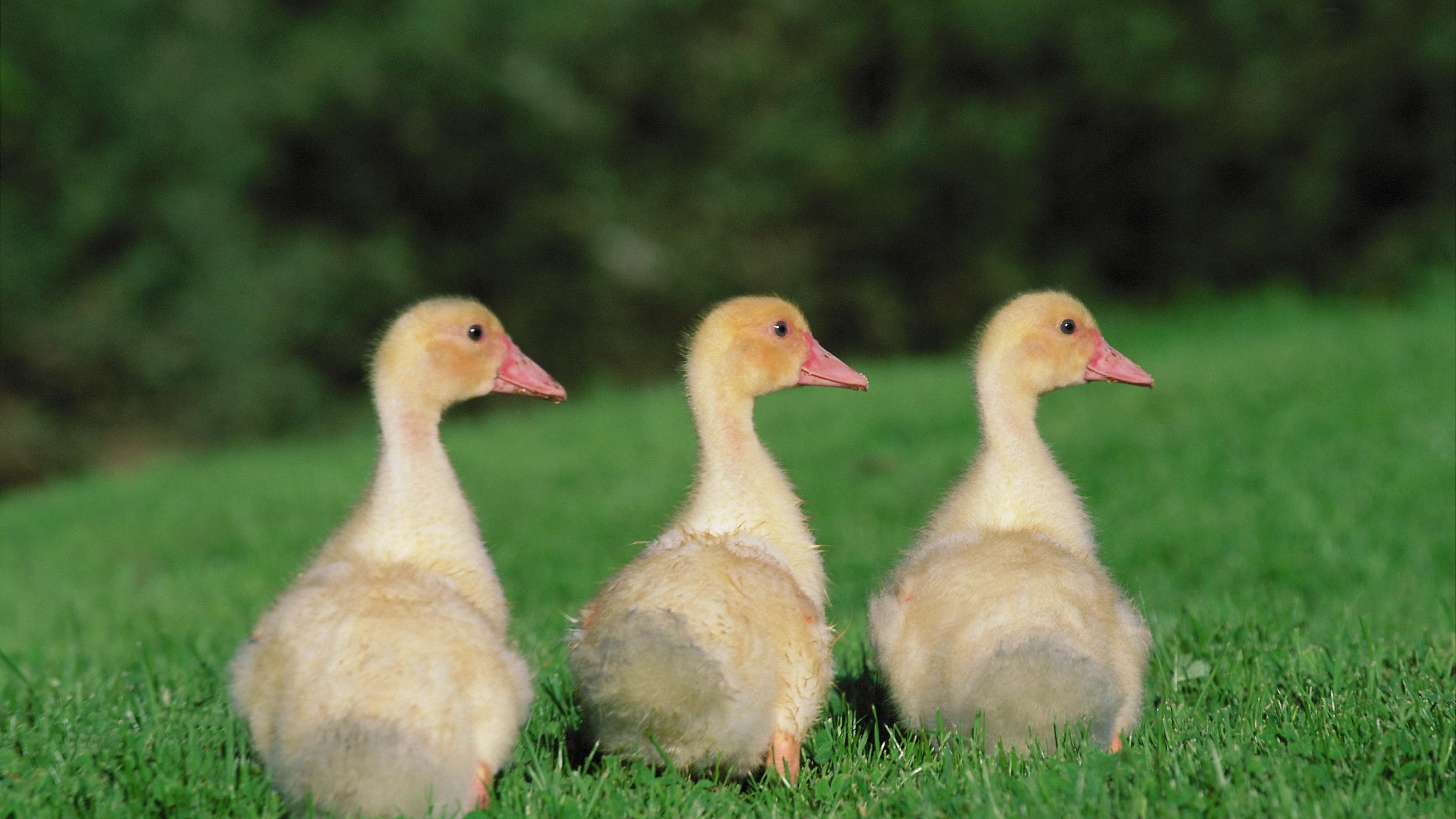 goslings geese birds chicks 4k 1542242169 - goslings, geese, birds, chicks 4k - goslings, geese, Birds