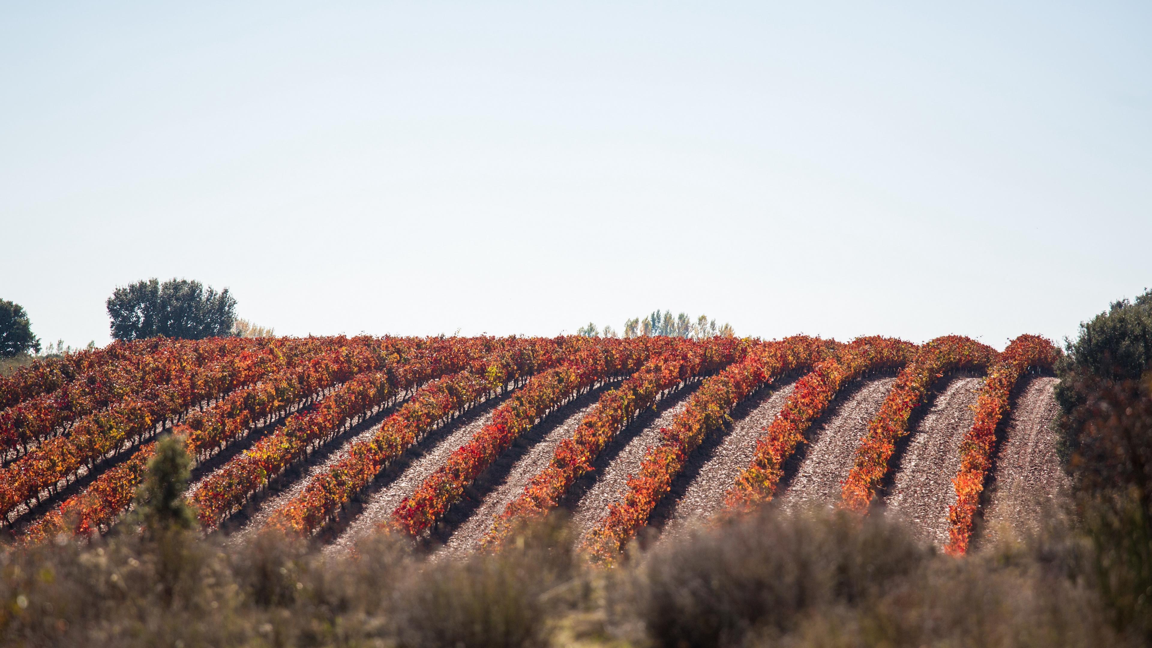 grape vine field landscape 4k 1541114001 - grape, vine, field, landscape 4k - vine, grape, Field