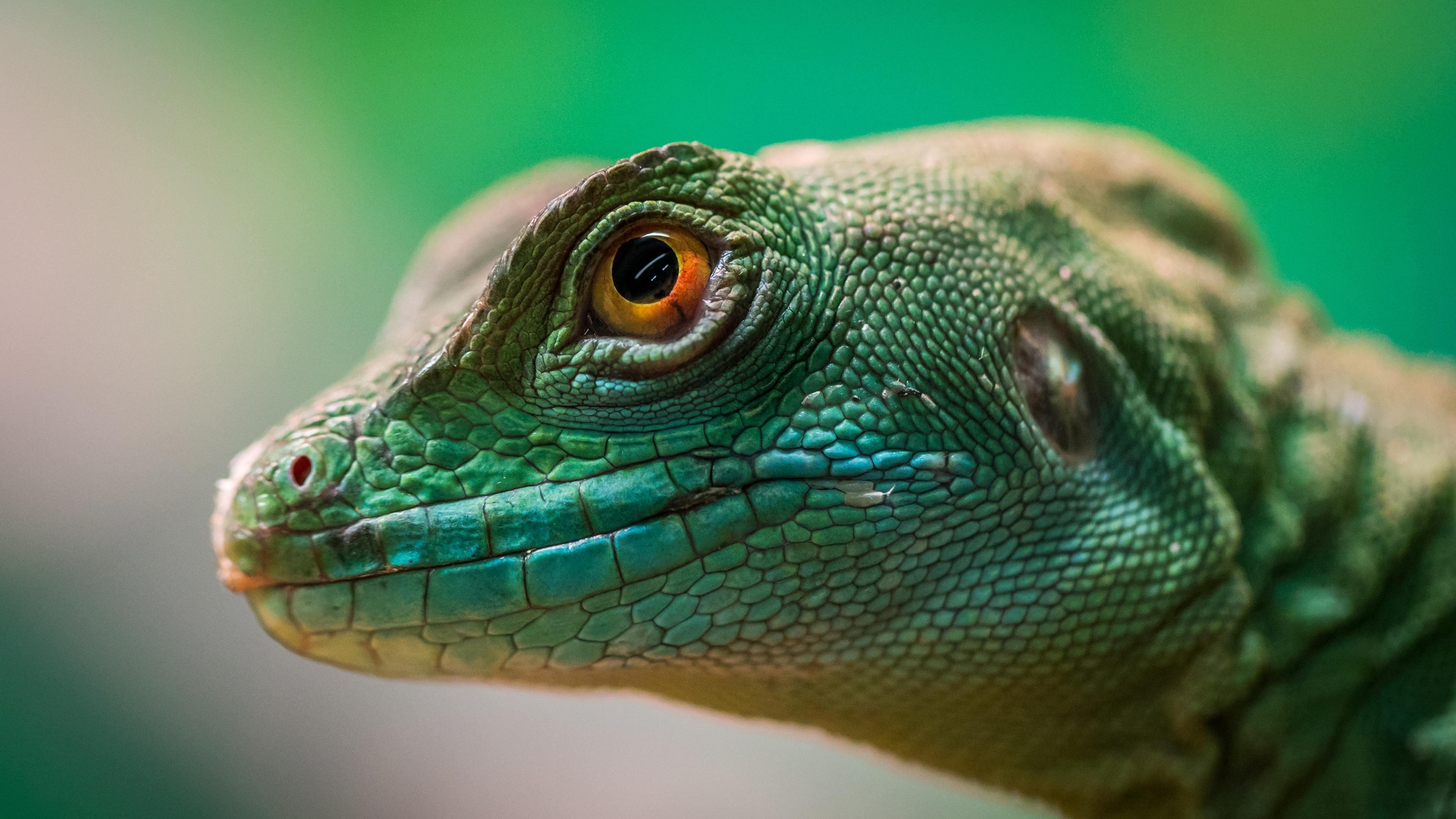 green lizard reptile macro 4k 1542239650 - Green Lizard Reptile Macro 4k - reptile wallpapers, macro wallpapers, lizard wallpapers, hd-wallpapers, animals wallpapers, 4k-wallpapers