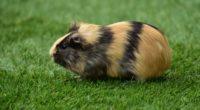 guinea pig grass rodent 4k 1542242211 200x110 - guinea pig, grass, rodent 4k - rodent, guinea pig, Grass