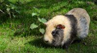guinea pig rodent striped grass 4k 1542242261 200x110 - guinea pig, rodent, striped, grass 4k - striped, rodent, guinea pig