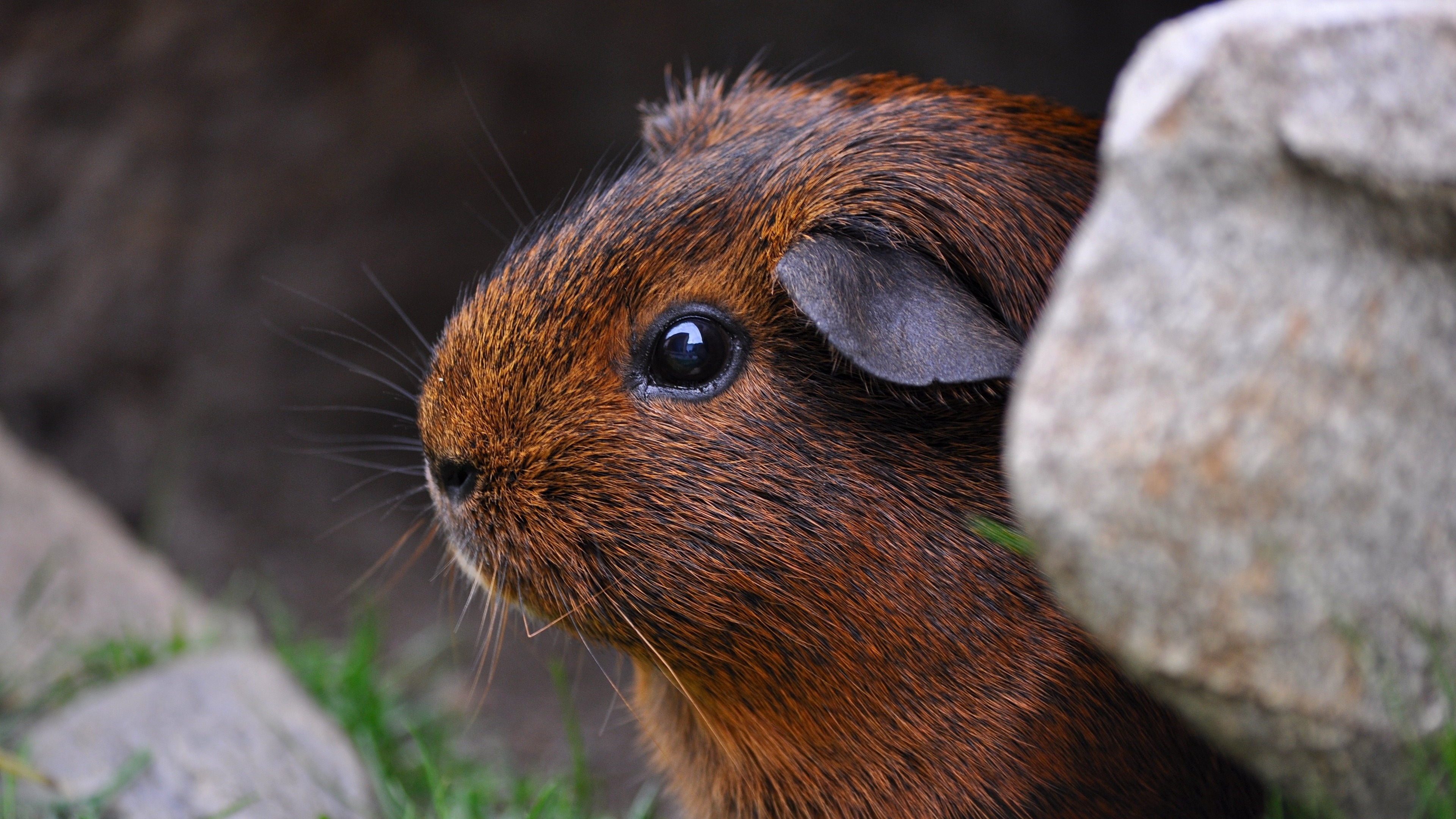 guinea pig sitting rodent 4k 1542242582 - guinea pig, sitting, rodent 4k - Sitting, rodent, guinea pig
