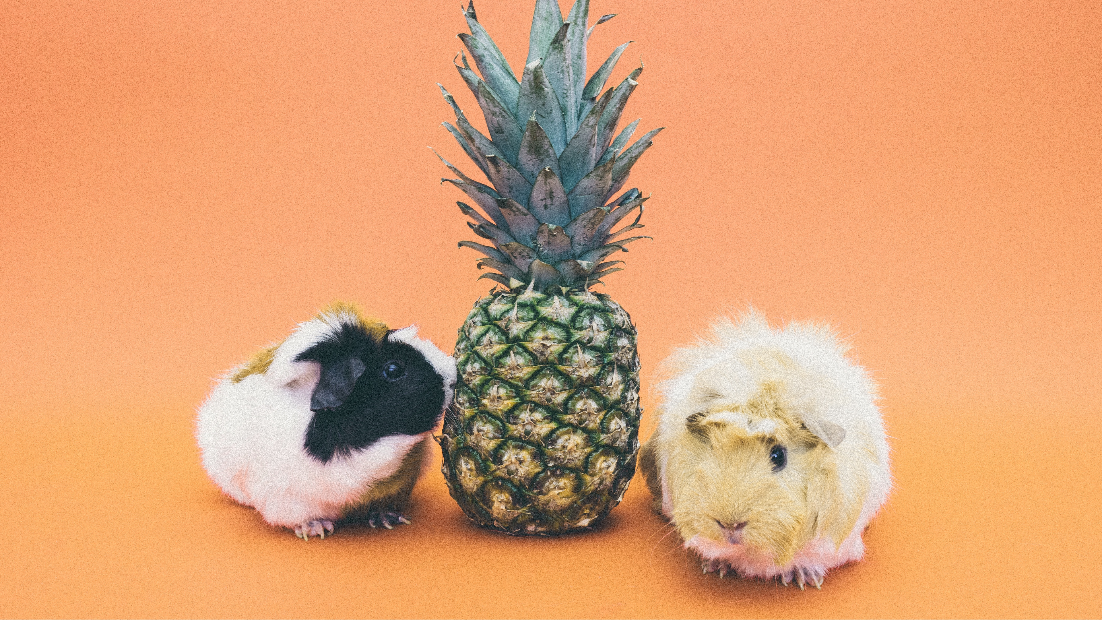 guinea pigs pineapple rodent 4k 1542243012 - guinea pigs, pineapple, rodent 4k - rodent, pineapple, guinea pigs