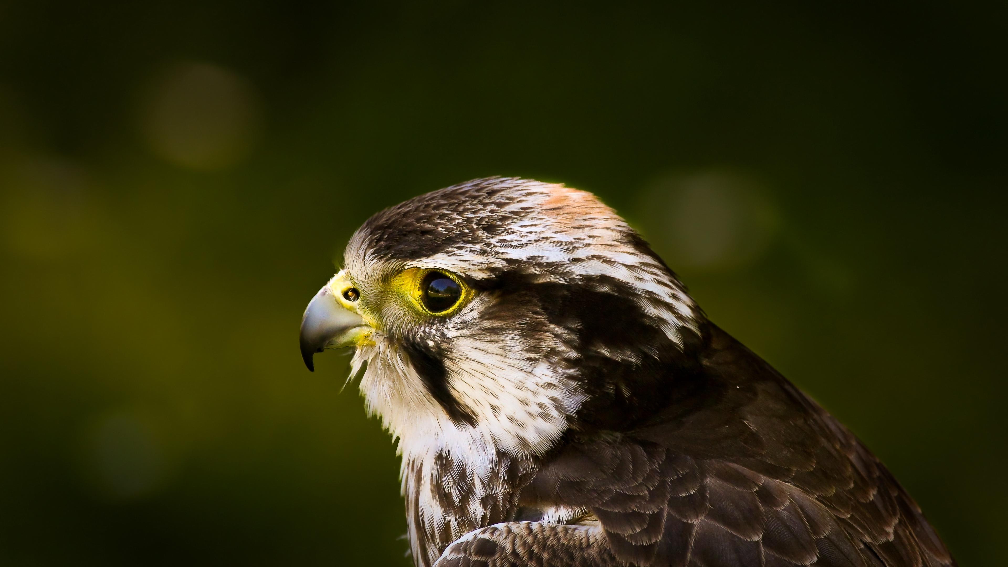 hawk bird glare background beak predator 4k 1542241588 - hawk, bird, glare, background, beak, predator 4k - Hawk, glare, Bird