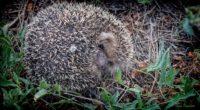 hedgehog grass fall nose 4k 1542242108 200x110 - hedgehog, grass, fall, nose 4k - hedgehog, Grass, Fall