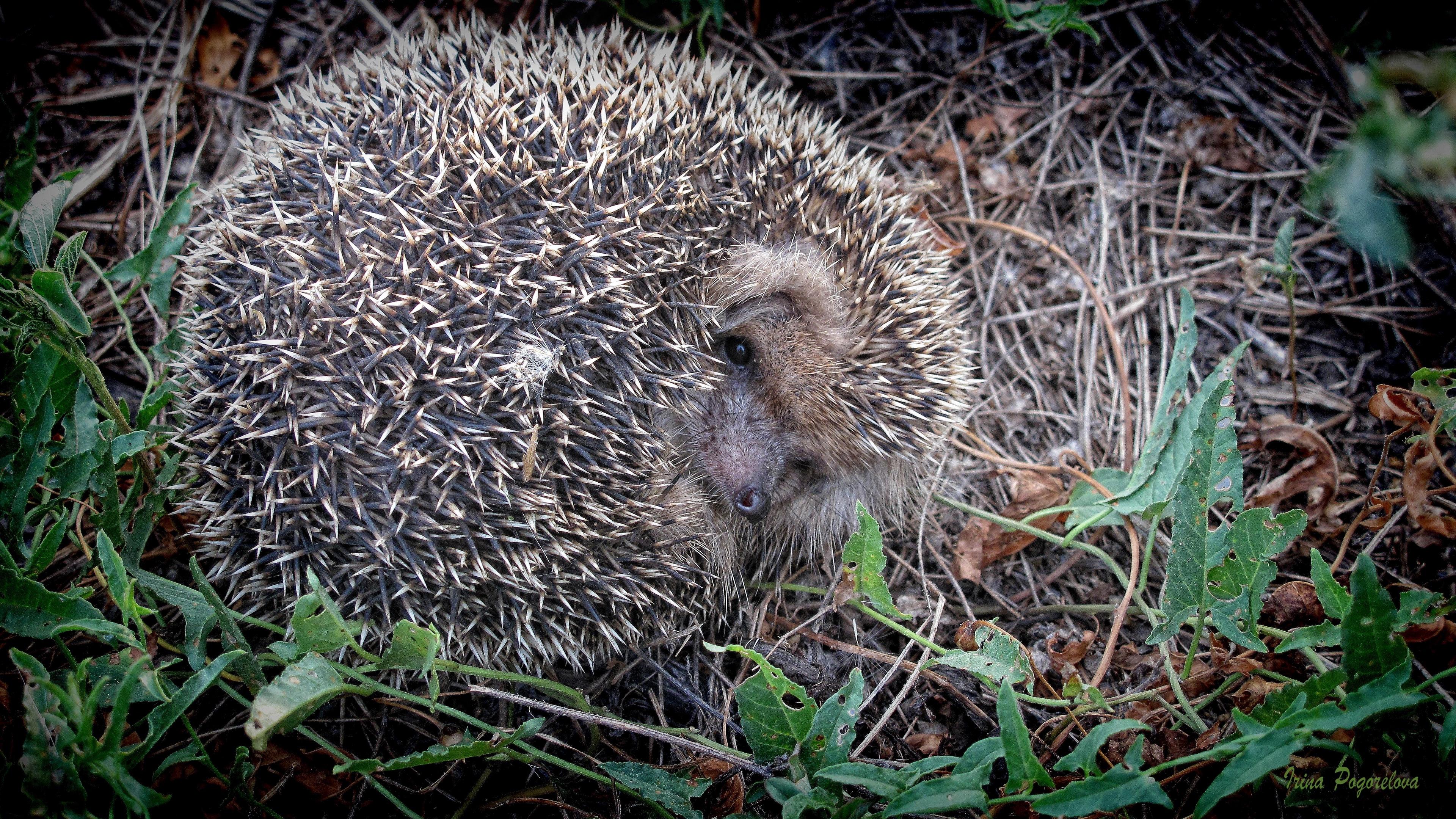 hedgehog grass fall nose 4k 1542242108 - hedgehog, grass, fall, nose 4k - hedgehog, Grass, Fall