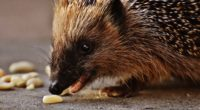 hedgehog prickles meal muzzle 4k 1542241873 200x110 - hedgehog, prickles, meal, muzzle 4k - prickles, meal, hedgehog