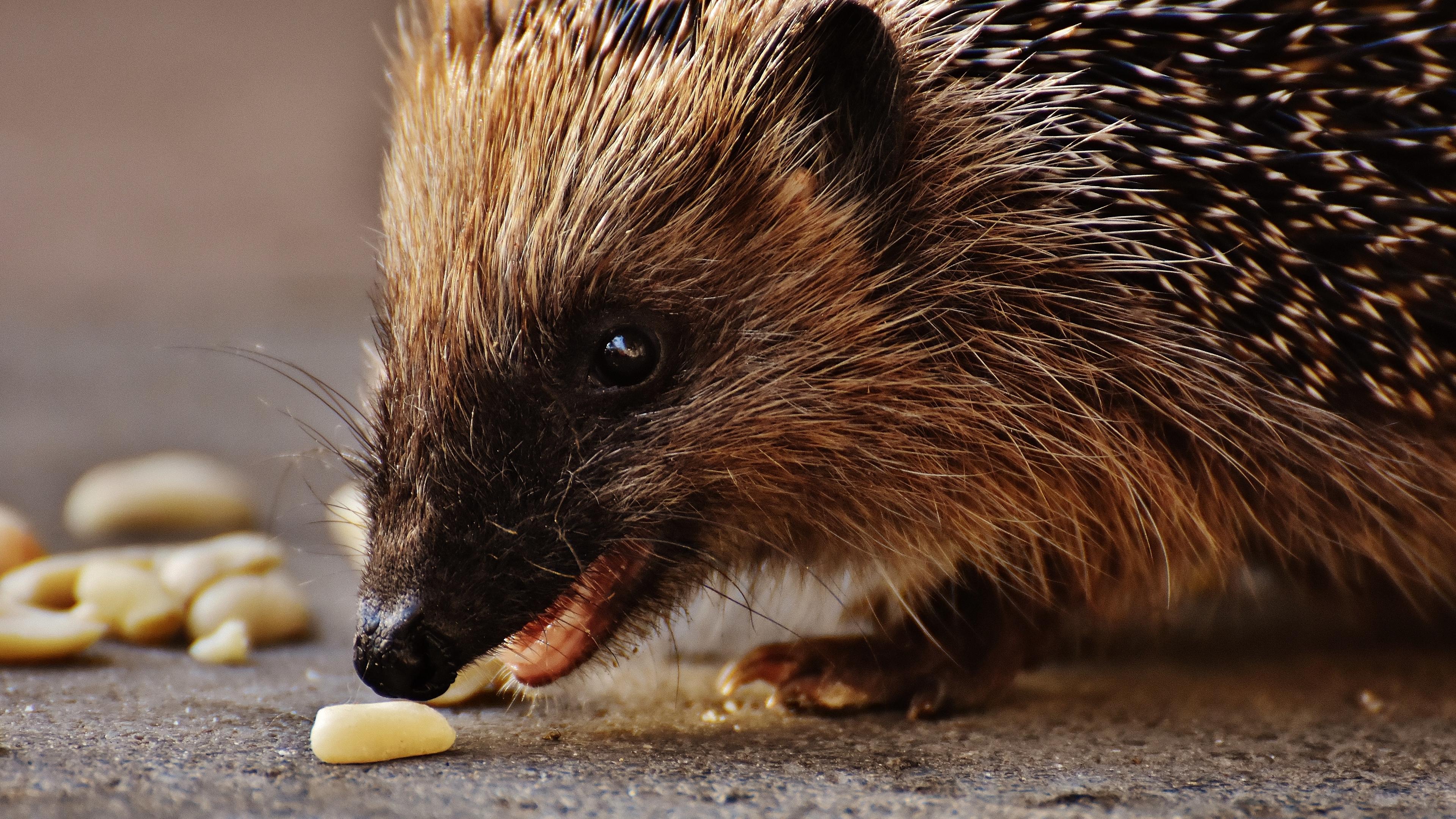 hedgehog prickles meal muzzle 4k 1542241873 - hedgehog, prickles, meal, muzzle 4k - prickles, meal, hedgehog